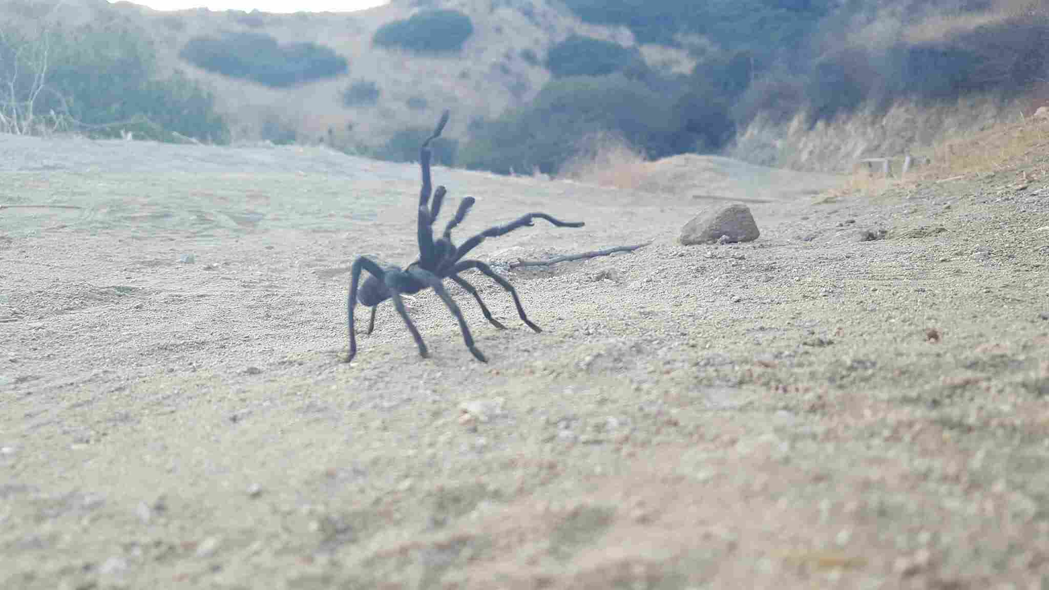tarantula in the desert